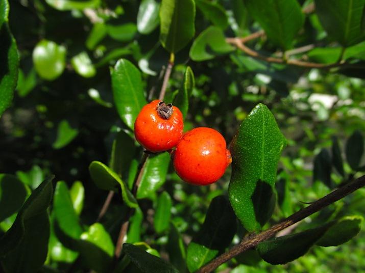 myrcianthes frgarans fruit 2 copy