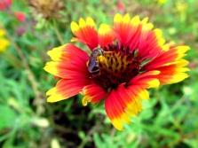 !!gaillardia-w-honeybee-&-pollen-sacs3
