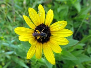 !helianthus-w-bee-&-corbicula