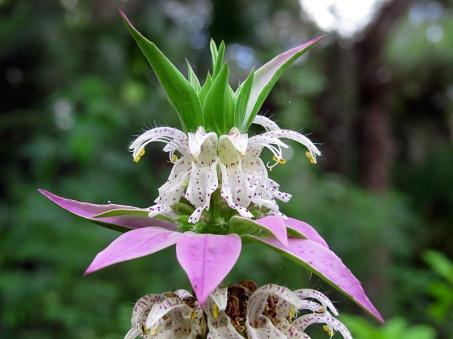 !!!!minardapunctata-w-pollen
