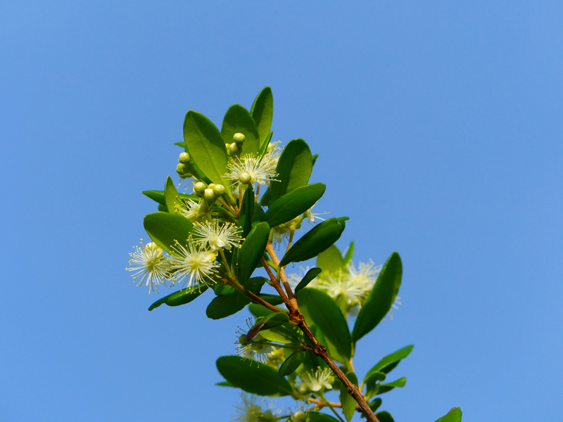 !!myrcianthes-fragrans-flowers