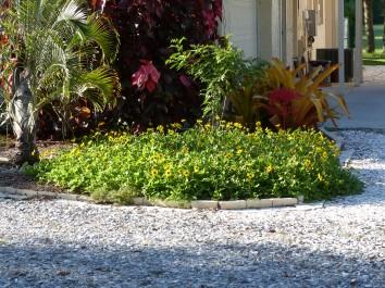beach duen sunflower - helianthus debilis