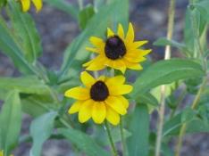 Black eyed susan - rudbeckia