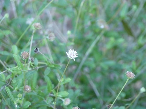 snow squarestem - melanthera nivea