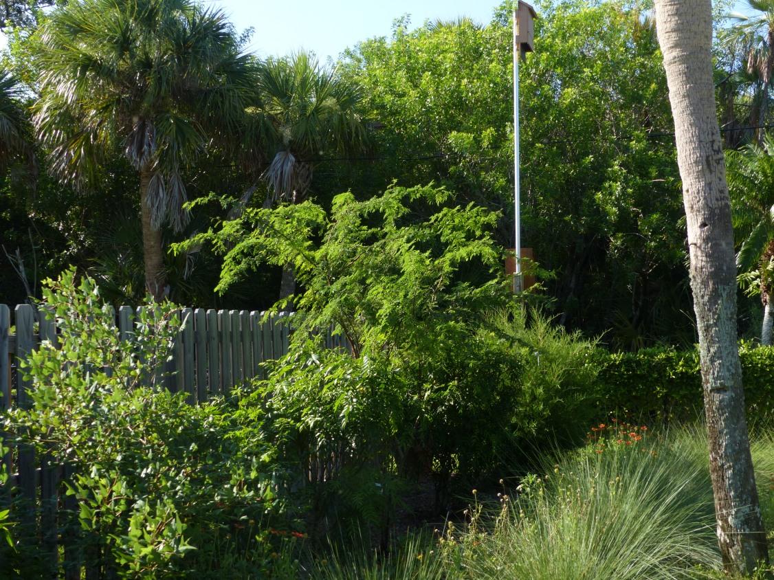 acacia & grasses