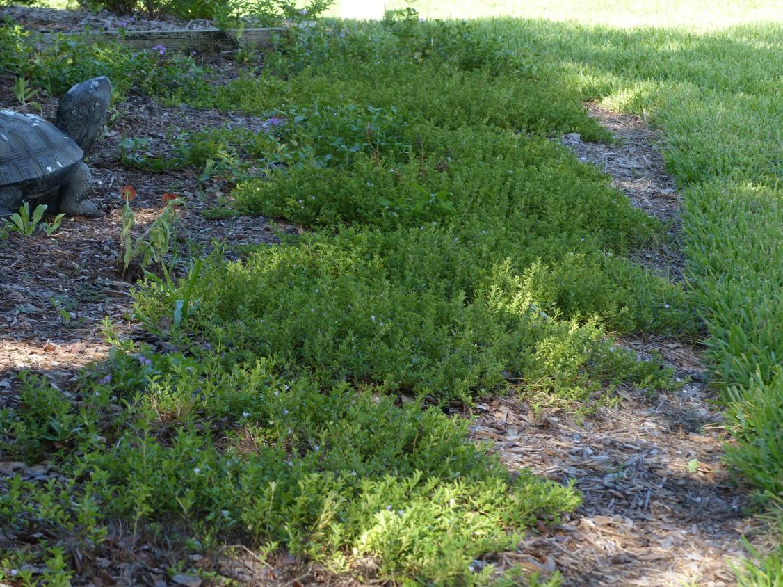 Dyschoriste oblongifolia