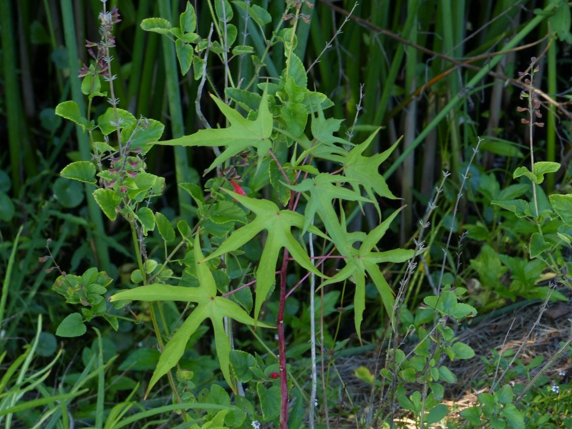 hibiscus coccinea & salvia coccinea