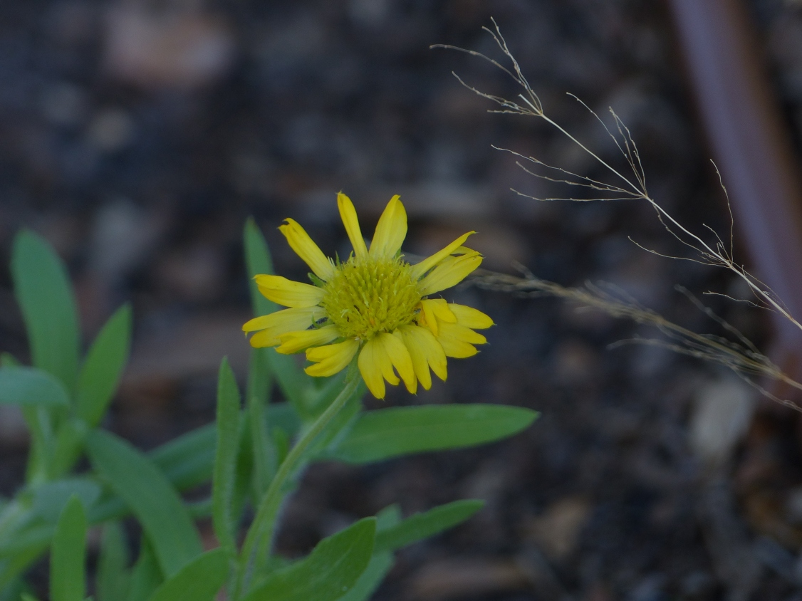 yellow gaillardia2