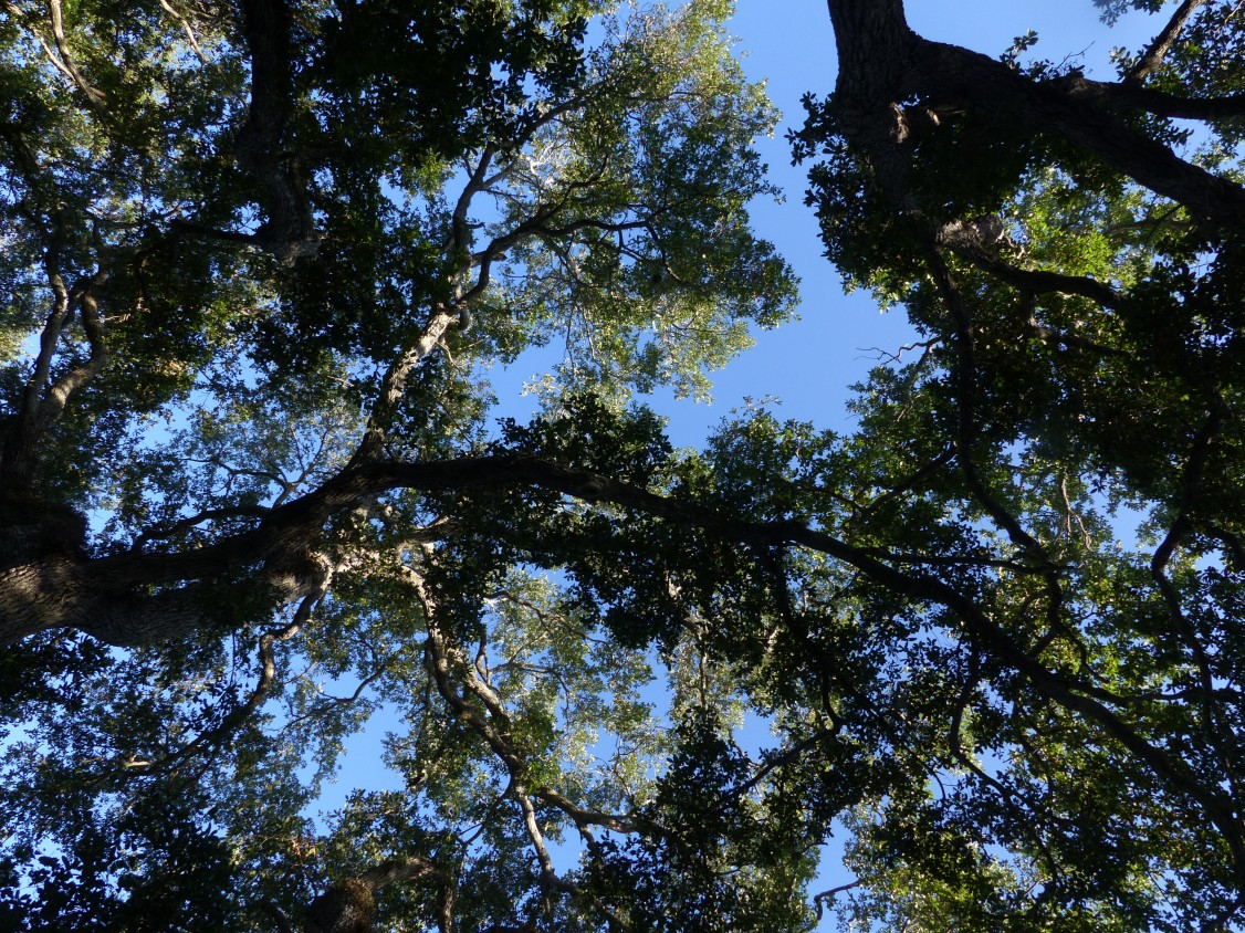 oak canopy2