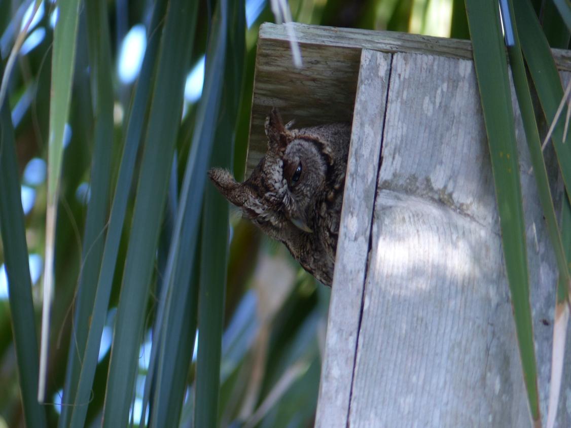 screech owl2
