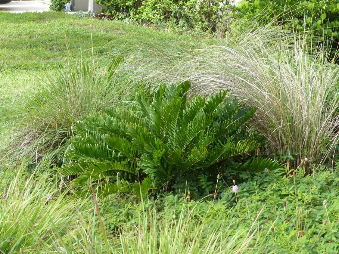 zamia - grasses