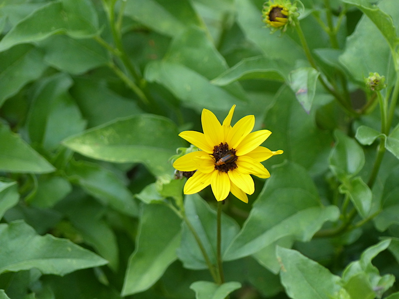 !!helianthus debilis w beetle copy