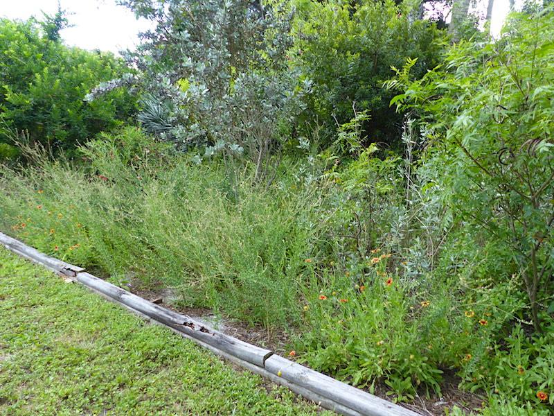 !!Oenothera simulans - gaillardia - conocarpus copy