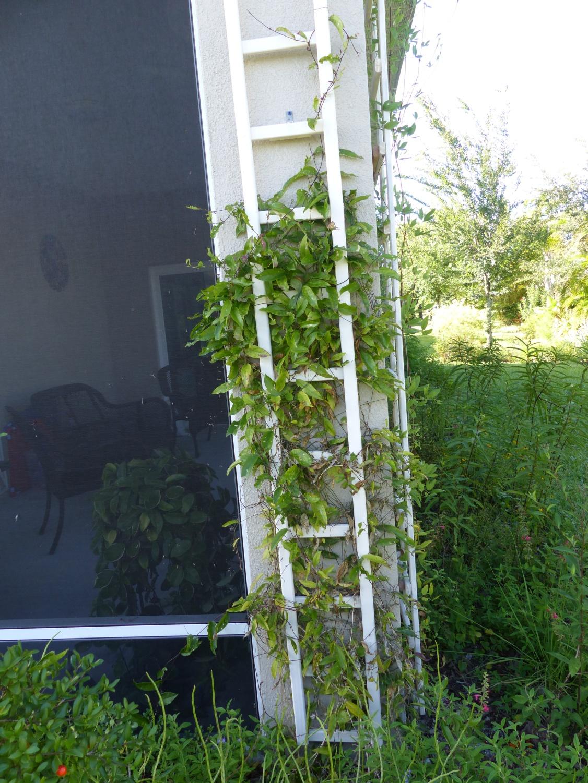 passiflora suberosa w trellis