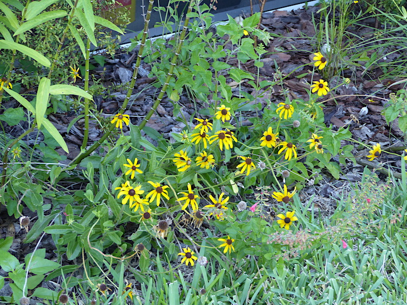 !!rudbeckia copy