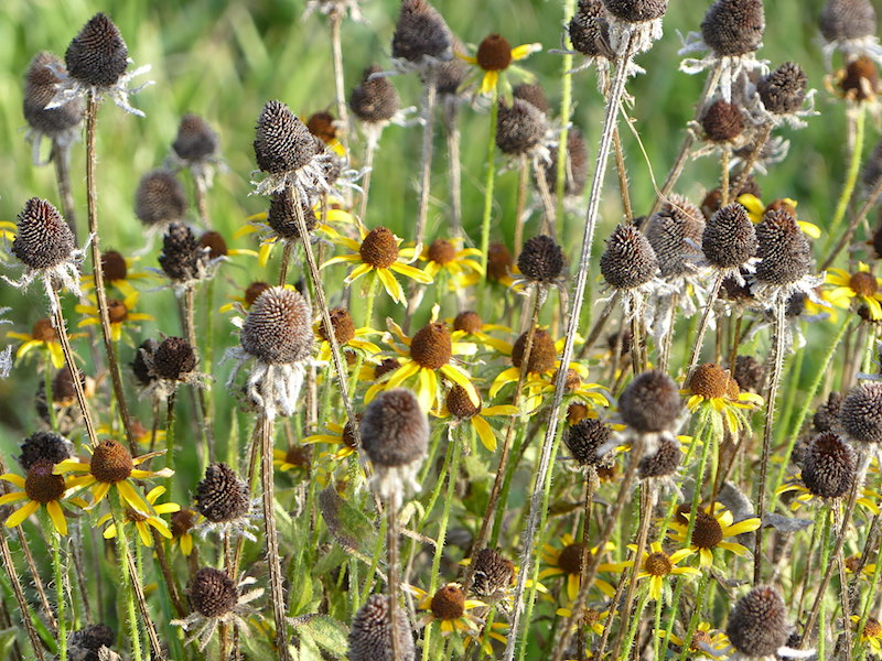 !!rudbeckia seedheads copy